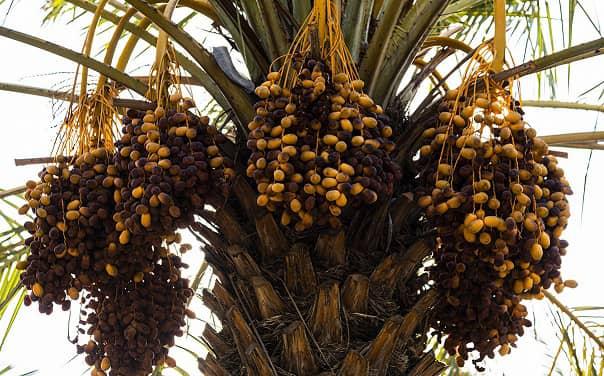 تولید ۸ هزار تن خرما در داراب