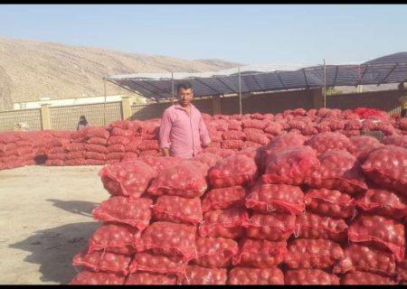تولید پیاز در شهرستان شیراز به  بیش از ۳۰ هزارتن  رسید